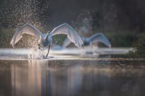 вода, птица, брызги, лебедь, разбег, крылья
