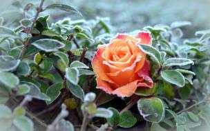 цветы, розы, иней