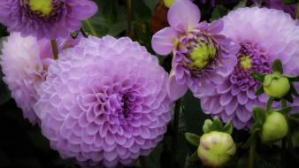 цветы, георгины, лиловый