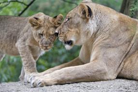 животные, львы, любовь, ласка, забота, семья, пара, детёныш, мать, львица, львёнок