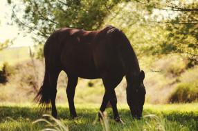 пастбище, свет, солнце, лето, пасётся, конь, тень