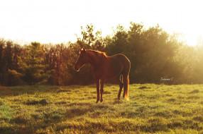 лето, отдых, утро, блики, простор, дремлет, солнце, свет, конь, рыжий, пастбище, луг, лето, трава