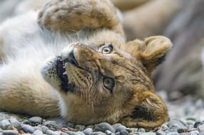 животные, львы, лапа, зоопарк, мордочка, львёнок, детёныш