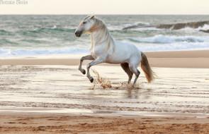 грация, море, побережье, вода, берег, брызги, песок, волны, прибой, ветер, конь, жеребец, серый, красавец
