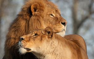 животные, львы, двое