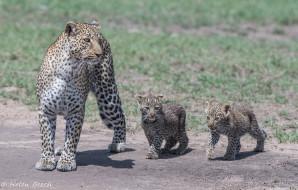 кошки, хищники, семейство, мать, трио, детёныши, семья, Африка