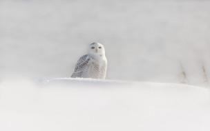 снег, зима, птица, белая сова