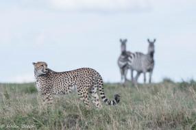 пятна, хищник, трава, простор, саванна, кошка, Африка, грация, окрас
