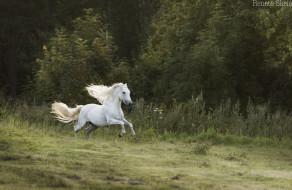 деревья, скорость, движение, конь, резвый, грива, трава, лес, луг, лето, прогулка, скачка, галоп, жеребец, белый