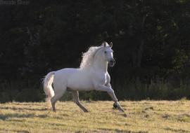 конь, луг, лето, жеребец, белый, грация, свет, тень