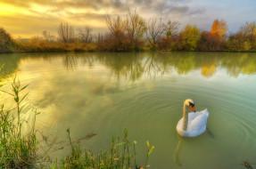 пруд, осень, лебедь, травы, птица, природа, кусты