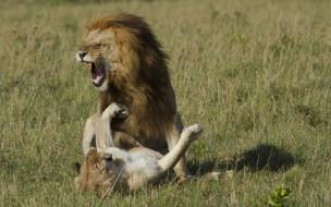 животные, львы, оскал