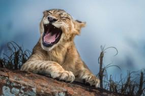 львёнок, котёнок, смеётся