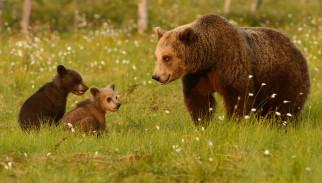 трава, медвежата, медведица, луг