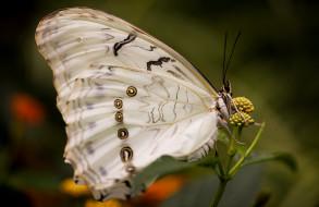 морфо, насекомое, макро, бабочка