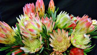 цветы, протея, экзотика