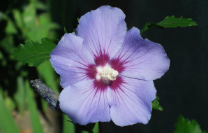 цветы, гибискусы, макро