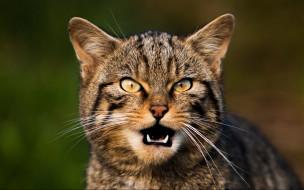 кот, животные, дикие кошки