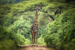 животные, жирафы, африка, жираф, деревья, ветки