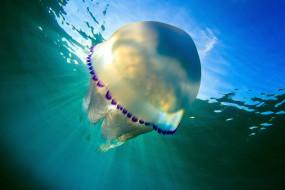 животные, медузы, вода, подводный, мир, медуза, море, океан