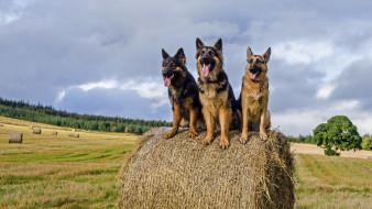 немецкаЯ овЧарка, животные, снежный барс , ирбис, собака, немецкаЯ, овЧарка