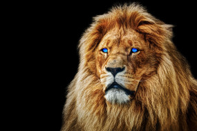 глаза, морда, лев, грива