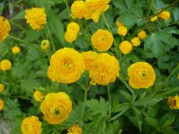 лютик, жёлтые, цветы, махровый