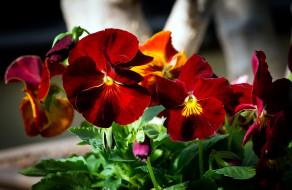 обои для рабочего стола 2048x1335 цветы, анютины глазки , садовые фиалки, макро