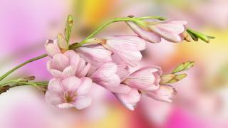 обои для рабочего стола 1920x1080 цветы, розовые