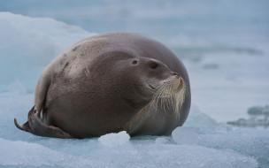 млекопитающее, тюлень, заяц, морской, Лахтак