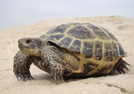 Черепаха, берег, песок, панцирь