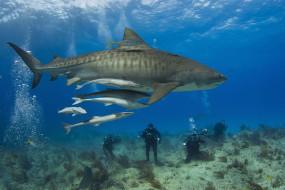 вода, Shark, аквалангисты, подводный, мир, акула, рыба