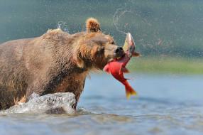 хищник, рыба, лосось, обед, рыбалка, охота, бурый, Медведь