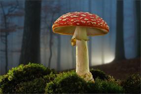лес, мухомор, гриб, мох