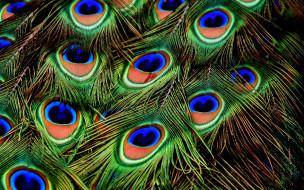 павлиньи, перья