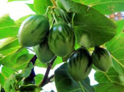 tree-tomato fruit