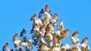свиристель, небо, Финляндия, снег, птицы, дерево