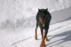 чёрный окрас, снег, крестик, ушки, тень, доберман
