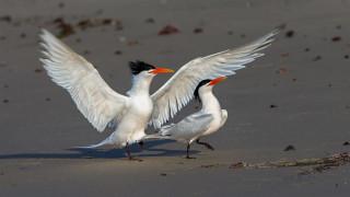 животные, Чайки,  бакланы,  крачки, элегантная, крачка, птицы, крылья, клюв