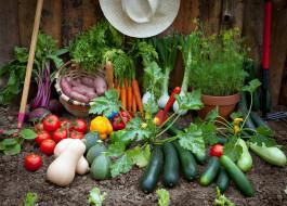 свекла, огурцы, укроп, урожай, кабачки, картофель, помидоры