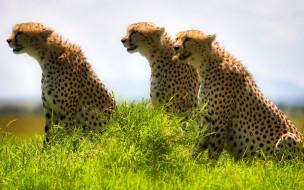 гепарды, звери, хищники, трава, саванна