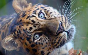 леопард, голова, усы, зверь, хищник