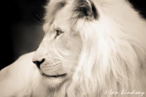 хищник, грива, лев, белый, зверь