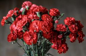 цветы, гвоздики, красный