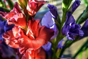 цветы, гладиолусы, лиловый, розовый