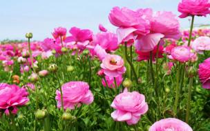 луг, много, розовый, бутоны