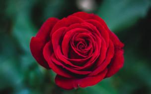 роза, красная