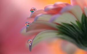 цветок, лепестки, капли, роса, макро