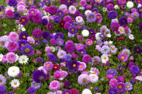 астры, много, цветник
