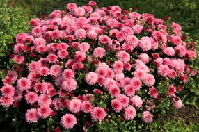 цветник, хризантемы, много, осень
